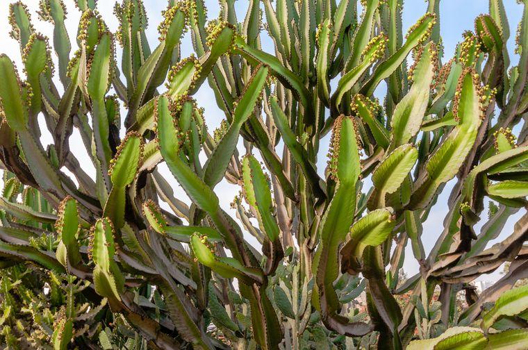 перуанский кактус