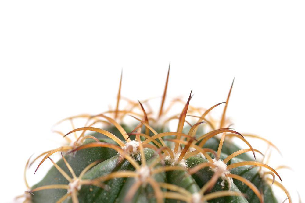 кактус матукана