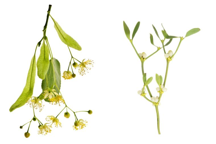 Трава белая омела ивная и липа для похудения: рецепт отвара, фото.