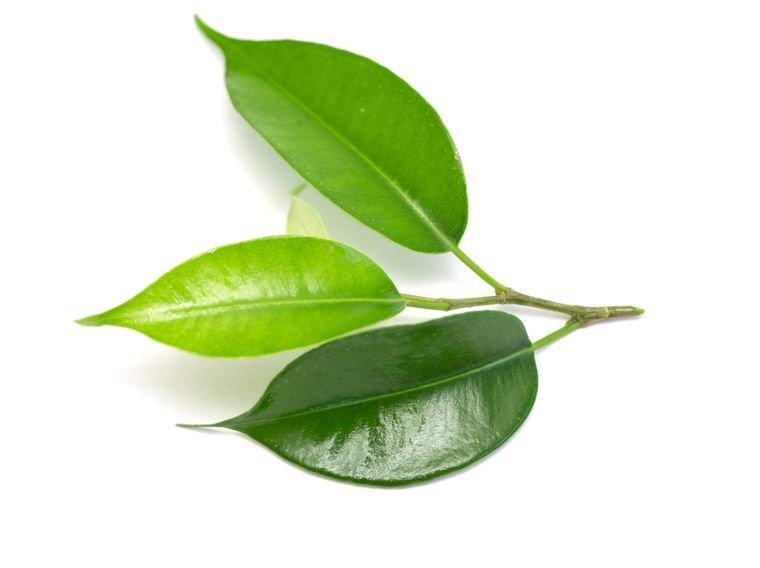 листья коки